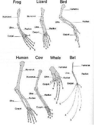 Blank Foot Diagram also Human Bone Structure Unlabled Human Skeleton Unlabeled Worksheet Lickclick further Ankle Bones Diagram also Huge Gallery Anatomy in addition Process. on foot skeleton diagram